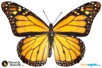 Monarch-Butterfly-at-900px